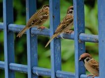 Pássaros do pardal Fotos de Stock Royalty Free