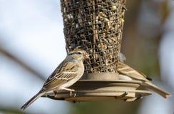 Pássaros do pardal lascando-se no alimentador do pássaro do girassol, Atenas, Geórgia, EUA foto de stock royalty free