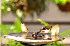 Pássaros do passarinho na banheira de passarinho, Florida Fotografia de Stock