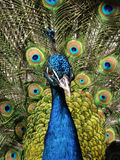 Pássaros do pavão. Macho. Fotos de Stock Royalty Free
