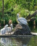 Pássaros do pelicano Fotografia de Stock Royalty Free