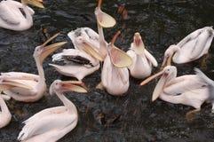 Pássaros do pelicano que começ o alimento Fotografia de Stock Royalty Free