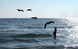 Pássaros do pelicano que mergulham no oceano Imagem de Stock