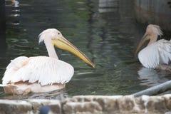 Pássaros do pelicano que nadam na água Fotos de Stock Royalty Free