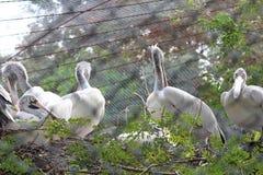 Pássaros do pelicano que sentam-se no ramo de árvore Fotos de Stock Royalty Free