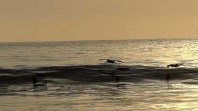 Pássaros do pelicano que voam sobre o oceano no movimento lento video estoque