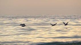 Pássaros do pelicano que voam sobre o oceano no movimento lento filme