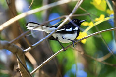 Pássaros do pisco de peito vermelho da pega de Robin Bird Oriental Pássaros dos saularis de Copsychus imagem de stock royalty free