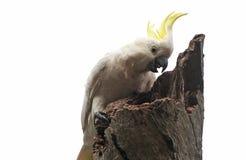 Pássaros do Sul da Austrália, paraíso linear do parque Fotografia de Stock