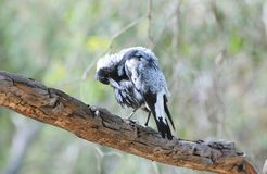 Pássaros do Sul da Austrália, paraíso linear do parque Foto de Stock Royalty Free