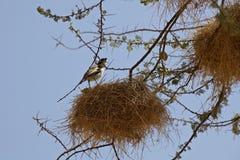 Pássaros do tecelão em Kenya imagens de stock