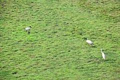 Pássaros dos íbis e do Egret na pastagem Imagens de Stock