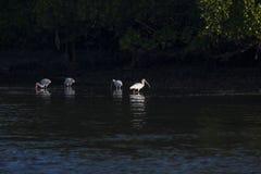 Pássaros dos íbis que alimentam em um estuário Fotografia de Stock Royalty Free