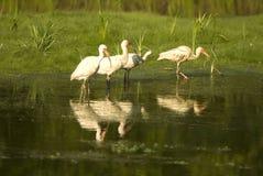 Pássaros dos íbis que estão em uma lagoa Imagens de Stock