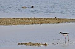Pássaros dos pantanais do cuteleiro Bay fotografia de stock