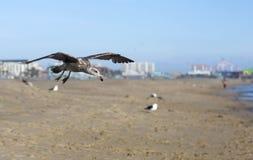 Pássaros durante o voo Imagens de Stock Royalty Free