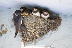 Pássaros e animais nos animais selvagens A andorinha alimenta os pássaros de bebê imagem de stock royalty free