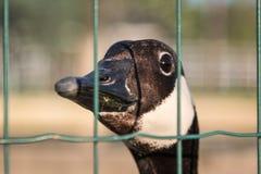 Pássaros e animais nos animais selvagens: Close up de Duck Behind bonito imagem de stock