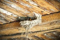 Pássaros e animais nos animais selvagens Ovos de choque da andorinha Andorinha do pássaro no ninho fotografia de stock