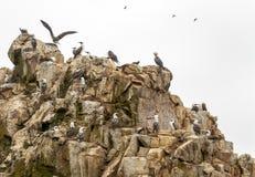 Pássaros e gaivota selvagens na ilha dos ballestas, Peru Foto de Stock