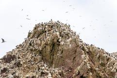 Pássaros e gaivota selvagens na ilha dos ballestas, Peru Fotografia de Stock Royalty Free