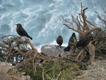 Pássaros e oceano Imagens de Stock Royalty Free