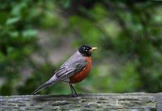 Pássaros em Central Park Fotos de Stock Royalty Free