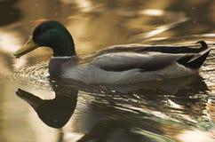 Pássaros em Delft Fotos de Stock Royalty Free