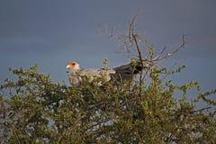 Pássaros em Kenya, pássaro de secretária foto de stock royalty free