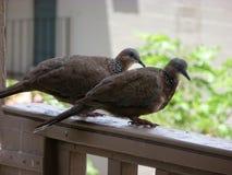 Pássaros em meu lanai Havaí imagens de stock royalty free