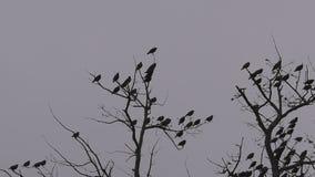 Pássaros em ramos de carvalho, céu nebuloso do inverno, fim fixado tripé da câmera acima