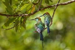 Pássaros em um ramo Imagens de Stock Royalty Free