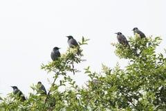 Pássaros em um ramo de árvore na primavera Imagem de Stock Royalty Free