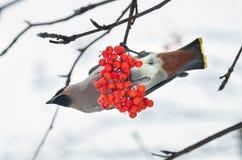 Pássaros em um ramo de Rowan Fotos de Stock Royalty Free