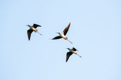 Pássaros em voo Fotografia de Stock Royalty Free