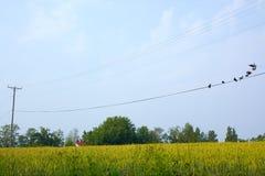 Pássaros empoleirados em fios Fotografia de Stock Royalty Free