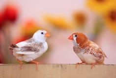 Pássaros encantadores dos pares Fotografia de Stock