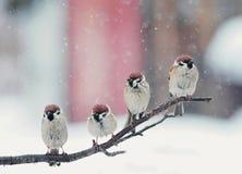 Pássaros engraçados que sentam-se em um ramo na neve no dia de Natal imagens de stock royalty free
