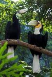 Pássaros envolvidos do Hornbill Imagem de Stock