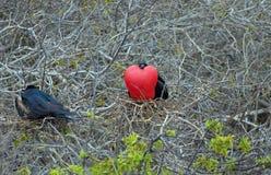 Pássaros exóticos e raros nas Ilhas Galápagos imagem de stock royalty free