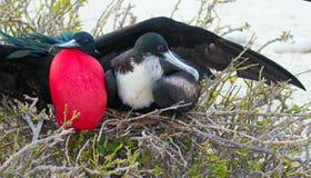 Pássaros exóticos e raros nas Ilhas Galápagos foto de stock royalty free