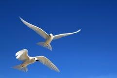 Pássaros feericamente da andorinha-do-mar do voo Imagem de Stock Royalty Free