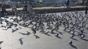 Pássaros irritados Imagem de Stock