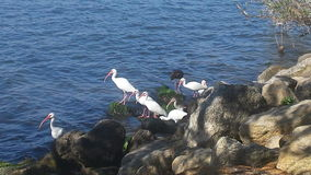Pássaros litorais Imagem de Stock