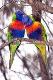 Pássaros, lorikeets do arco-íris Imagens de Stock