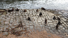 pássaros mais frouxos nos bancos do Rhine River Imagens de Stock