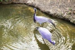 Pássaros na água Foto de Stock Royalty Free