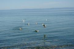 Pássaros na água Fotografia de Stock Royalty Free