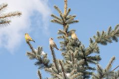 Pássaros na árvore de Natal Imagens de Stock Royalty Free