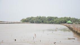 Pássaros na floresta dos manguezais ou na floresta Intertidal em Bangkhunthein video estoque